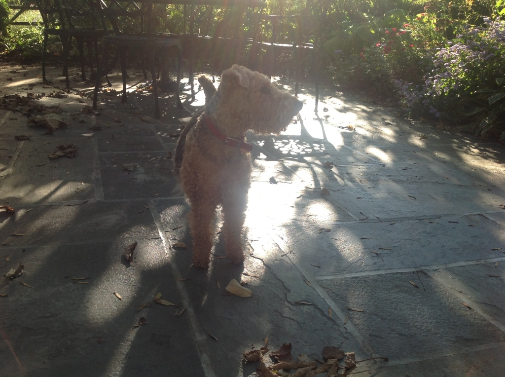 Dilys the welsh terrier