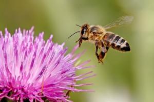 honey bee on milk thistle