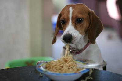 dog eating pasta