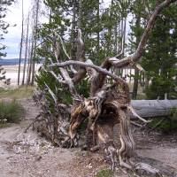 Life is Like ... an uprooted tree