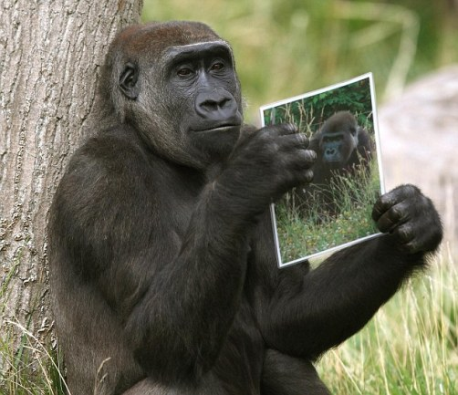Female gorilla looking for mate
