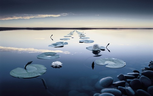 water lilies in calm water