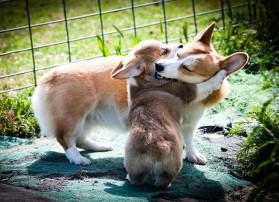 corgis hugging