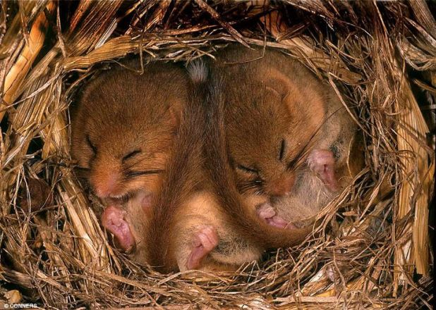 hibernating mice