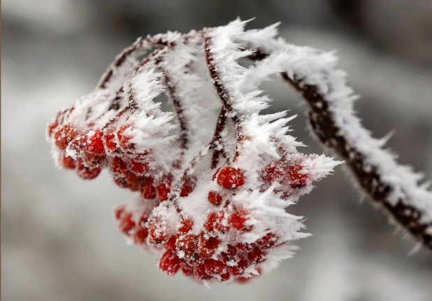 berries in ice