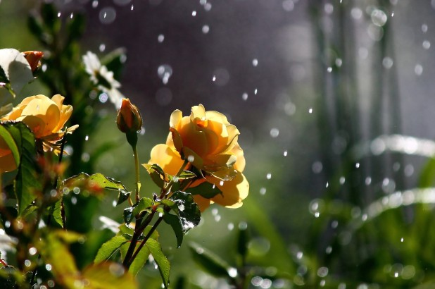 yellow rose in rain