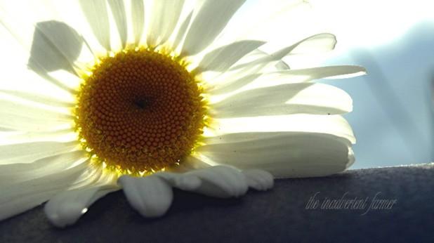 daisy on dashboard