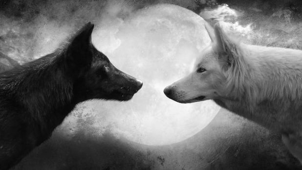 black and white wolf tale