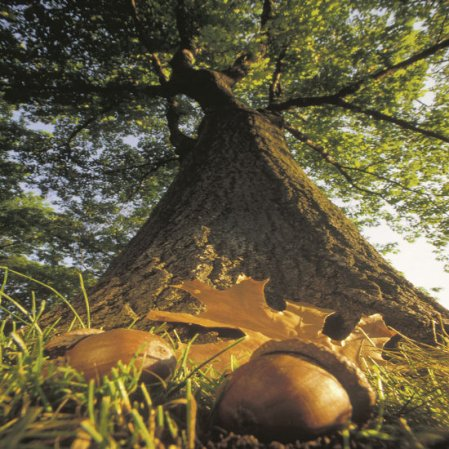acorn to mighty oak