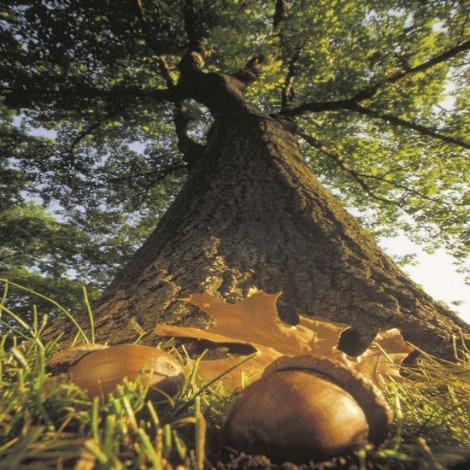 acorn to mighty oak