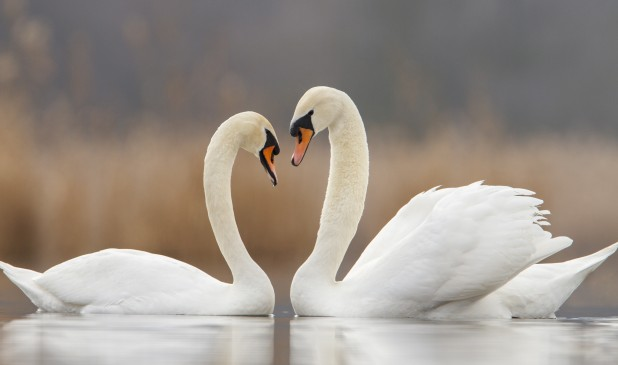 white should swans