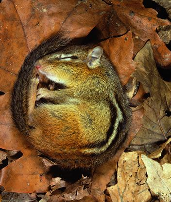 chipmunk hibernating
